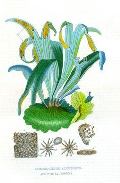 Platycerium - staghorn fern