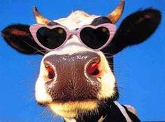 cow in pink shades @ sodahead.com
