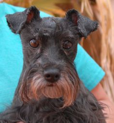Peony, a blooming flower, a sweetheart ready to be loved.  She needed us because her previous owners said they did not have enough time for her.  Peony is a Miniature Schnauzer, 4 years of age, a spayed girl, debuting for adoption today at Nevada SPCA (www.nevadaspca.org).  She likes other friendly dogs and she is reportedly housetrained and compatible with cats.