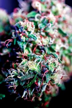 Fruity Pebbles Kush http://www.kidocean.net