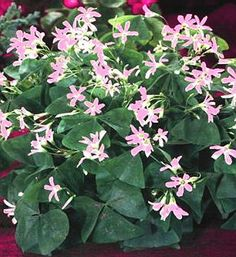 Oxalis Fanny SKU: 14603-15 Priced for a pkg of 15 large tubers Regular Price: $9.95 On Sale For: $8.95