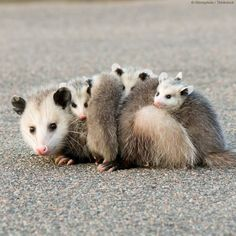 Did you know? Opossums are the only marsupial that live ...