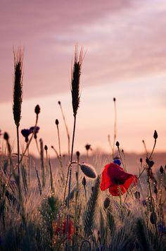Wheat, poppies and cornflowers