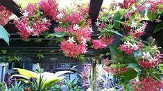 Quisqualis indica | + Plantas