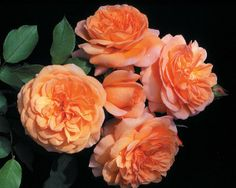 Louise Clements™ - Roses - Heirloom Roses