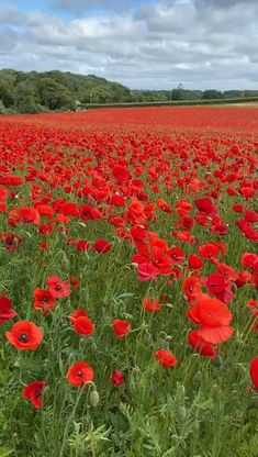 Poppy Flower Garden, Wild Flower Meadow, Wild Flowers, Pictures Of Poppy Flowers, Flower Feild, Beau Gif, Wallpaper Nature Flowers, Red Poppies, Field Of Poppies