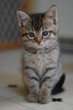 Cute Little Kittens, Cute Baby Cats, Kittens Cutest, Ragdoll Kittens, Tabby Cats, Funny Kittens, Bengal Cats, Super Cute Kittens, Siamese Cat