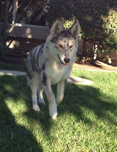 What do you get when a husky and an Australian shepherd reproduce? This magnificent creature.
