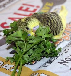 Parakeet eating parsley. Make sure you leave the greens wet when you give them to your budgie they bathe in the water droplets left on the greens. Wild budgies in Australia (a notoriously dry country) bathe in dewdrops on plants.