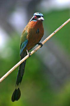 El barranquero es una especie de ave coraciiforme de la familia Momotidae que habita regiones las tropicales de México, América Central, Trinidad y Tobago y Sudamérica hasta el noroeste de Argentina.