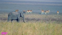 ELEPHANT WITH DEER - Wildlife Photographer Community Wildlife photographer Sanjay S Pavar shared a wonderful image on http://photos.wildfact.com, a website community for wildlife photographers only. To enjoy the image click below link to view in full mode, to join the community, see many other wildlife photographs and follow wildlife photographers. http://photos.wildfact.com/image/670/elephant-with-deer  #wildlife #wildlifephotography #photography