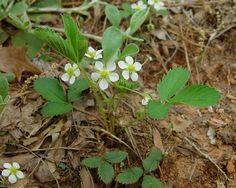 Fragaria virginiana - Wild Strawberry