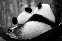Awwww | panda cuddles <3