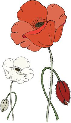 Red and white poppy flower and poppy bud isolated on white. Red and white poppy flower and poppy b Poppy Flower Painting, Poppy Drawing, Flower Art, Bud Flower, Watercolor Artwork, Floral Watercolor, Watercolor Birthday Cards, Flower Drawing Tutorials, Line Art Images