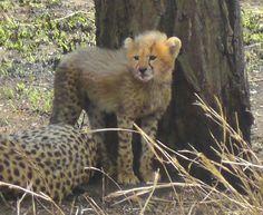 Cheetahs, Tanzania