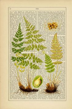 Botanical - Ferns *Press ferns on a dictionary page w/word fern, frame*