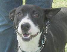 WILLA is an adoptable Border Collie Dog in Bristol, CT. WILLA BREED: Border Collie Mix GENDER:  Female WEIGHT: 35-40 lbs AGE:  1-3 Years LOCATION:  Memphis, TN ADOPTION FEE:  $450.00(Includes full va...