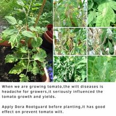 When we are growing tomato,the wilt diseases is headache for growers,it seriously influenced the tomato growth and yields.Apply Dora Rootguard before planting,it has good effect on prevent tomato wilt.More info or need samples to test of Dora Rootguard,please check the link in our bio.Any ideas please comment here.#doraagri #garden #gardener #gardening #tomatoes #tomatoplant #tomatogarden #urbanfarmer #urbangarden #harvest #fertilizer #tomatoplants #tomatofarm #farmer