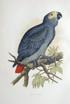 GREY PARROT Engraved by Benjamin Fawcett after A F Lydon Published London 1884 by George Bell Sons in Parrots in Captivity by W T Greene A fine