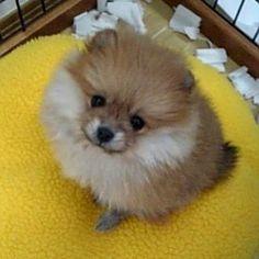 10年前、我が家にやってきた子だぬき。 手のひらに乗っかるくらい、ちっちゃなたぬきだった。  ポーラ/Pola (Pomeranian)  #犬 #愛犬 #ポメラニアン #dog #dog #pomeranian #cute #dogs_of_instagram #pet #pets #animal #petstagram #petsagram #dogsofinstagram #ilovemydog #instagramdogs #dogstagram #dogoftheday #lovedogs #doglover #instadog