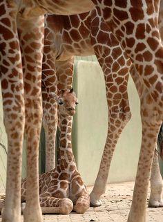 Love giraffes!!!!