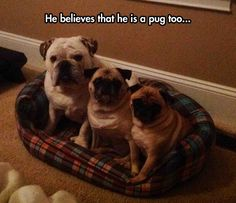 The Pug Life Did Not Choose Him