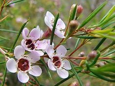 Chamelaucium uncinatum, Cera-de-geraldton, Planta-cera-de-geraldton