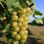 Comment faire pousser de la vigne ? Comment Planter, Culture, Corsica, Raisin, Fruit, Gardens, Veggie Gardens, Grape Vines, Potager Garden