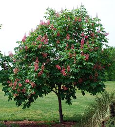 LOVE these but can't get them to grow the deer eat them !   bottlebrush buckeye