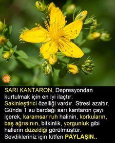 Sarı  kantron