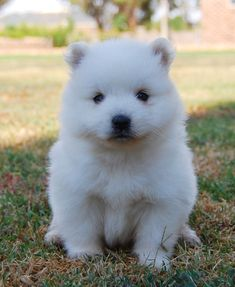 372 Best Japanese Spitz Dogs Images Cute Puppies Japanese Spitz