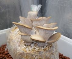 I created a 3 part video series that will show you how to grow oyster mushrooms from mushrooms that you purchase at the store. Here's a quick run t...