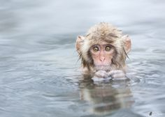 Alone in the pool - Snow monkey