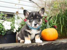 #WelshCorgi #Pembroke #Charming #PinterestPuppies #PuppiesOfPinterest #Puppy #Puppies #Pups #Pup #Funloving #Sweet #PuppyLove #Cute #Cuddly #Adorable #ForTheLoveOfADog #MansBestFriend #Animals #Dog #Pet #Pets #ChildrenFriendly #PuppyandChildren #ChildandPuppy #LancasterPuppies www.LancasterPuppies.com Welsh Corgi Puppies, Pembroke Welsh Corgi, Lancaster Puppies, Puppies For Sale, Mans Best Friend, Puppy Love, Pets, Animals, Animaux