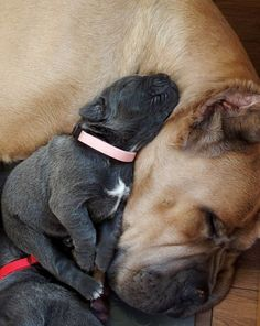 Awesome Collection of Cane Corso Puppies Ever