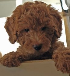 Perfect...goldendoodle