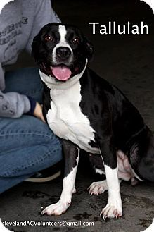 TALLULAH...FOUND IN CLEVELAND, OHIO... Cleveland, OH - Pit Bull Terrier Mix. Meet Tallulah-Urgent!!, a dog for adoption. http://www.adoptapet.com/pet/11869284-cleveland-ohio-pit-bull-terrier-mix