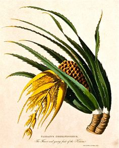 Historical botanical illustration of the day: Pandanus tectorius