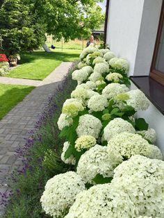 Neem de lavendel als ondergroei voor het bloembed en #flowerbed #lave ... - #als #bloembed #de #en #flowerbed #Het #lave #lavendel #Neem #ondergroei #voor