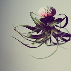 pink ombre jellyfish air plant
