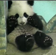 Bao Bao: Smithsonian National Zoo's baby girl panda March 2014 (zoo panda cam captured shot)
