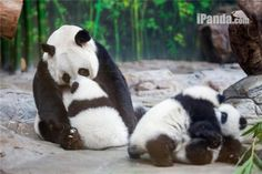 Photos of panda triplets with their mother