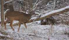 POACHED: A well-known buck taken in a Milwaukee County Park.