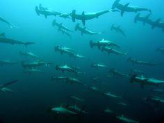 Hammerhead Shark Migration