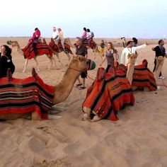 Camels Desert Safari Knight Tours Dubai UAE