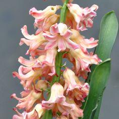 "Hyacinth ""Odysseus"""