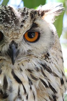 Cape Eagle-Owl - by Shelly OBrien