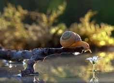SNAILS WERE PHOTOGRAPHED IN THEIR NATURAL ENVIRONMENT. WONDERFUL PHOTOS SHOW THE BEAUTY OF THE WORLD AROUND US.