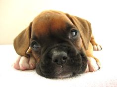 Boxer puppy/look at all the love in those eyes.