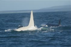 "Meet ""Iceberg""- the only known white male orca in the world. Beautiful!!"